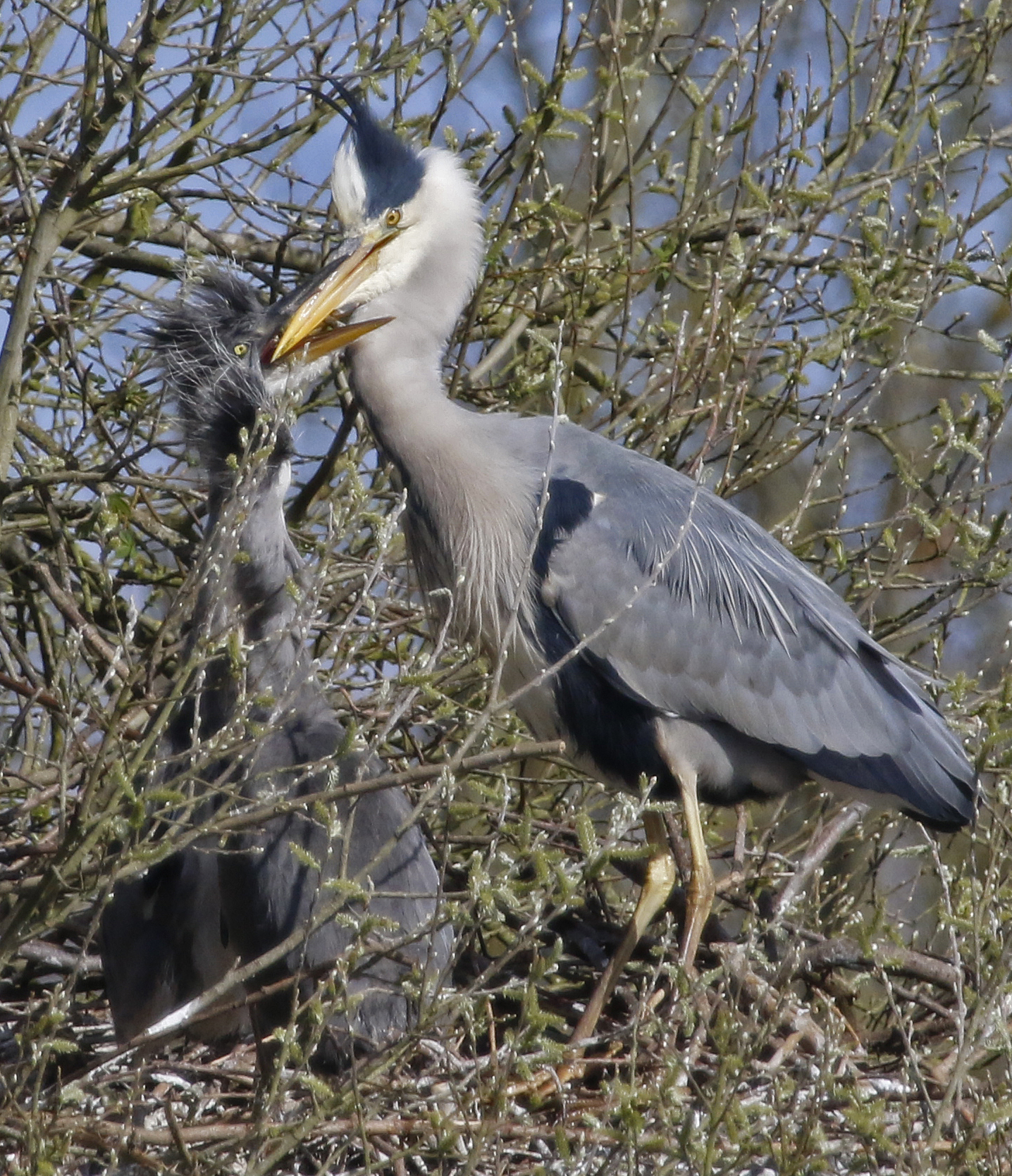 Heron feeding chick