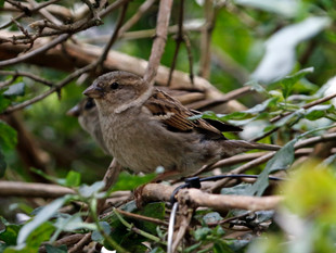 The Not So Common House Sparrow
