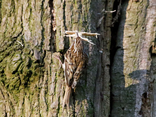 Watching Treecreepers.