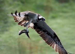 Fishing Ospreys