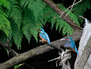 Kingfishers Courting