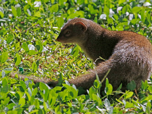Mongoose or Mongeese?