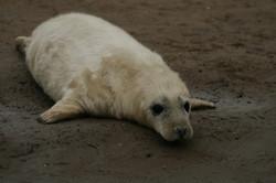 Newborn grey seal