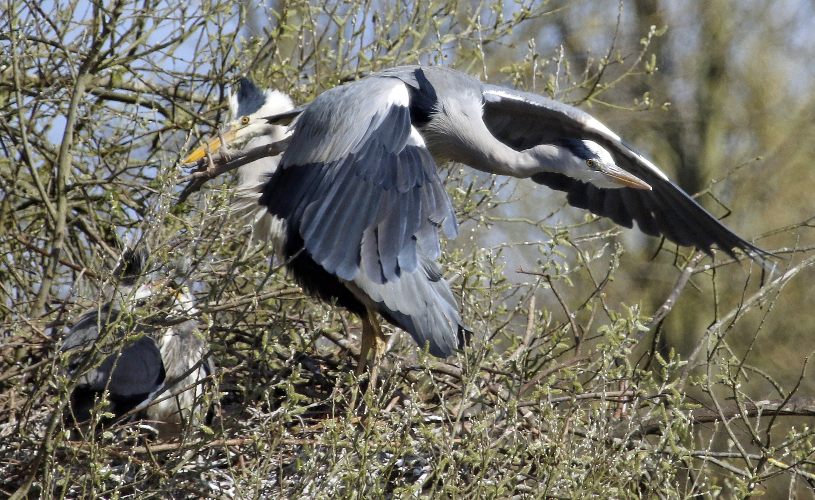 Herons at the nest