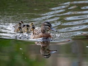 Duckling Overload
