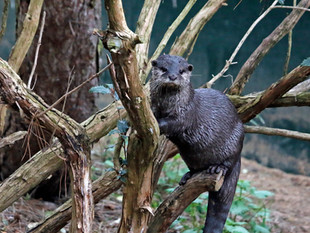 Just An Otter....In a Tree