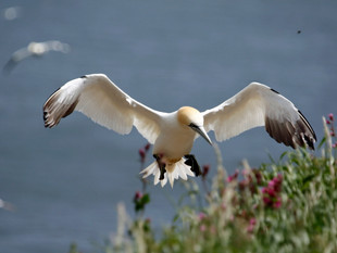 Sea Bird City Bempton Cliffs – Gannets