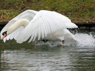 Not Quite A Swan Lake!