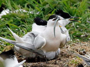 The Farne Island Part 2 One Good Tern Deserves Another (2)