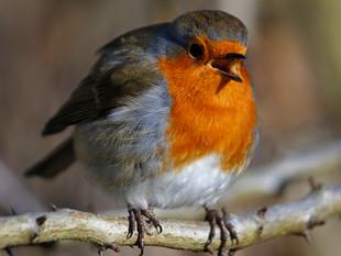Rocking Robins