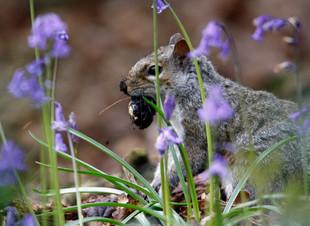 Bluebell Squirrel