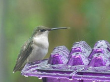 H Bird on purple feeder.jpg