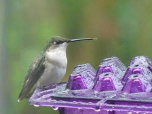 H Bird on purple feeder.jpg