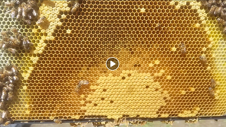 honeycomb with bees.png
