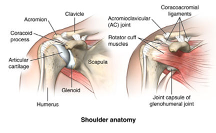 anatomy-of-the-shoulder-322086.jpg