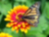 monarch-18140_960_720.jpg