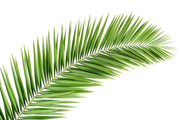 kisspng-arecaceae-palm-branch-leaf-tree-