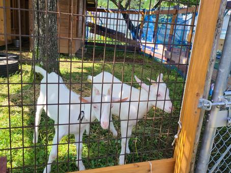 開田保育園にヤギが来た!