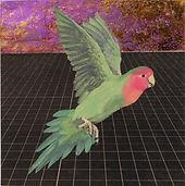 alexis-kandra-4x-Peach-Faced-Lovebird.jp