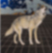 alexis-kandra-4x-Alpha-Wolf.jpg