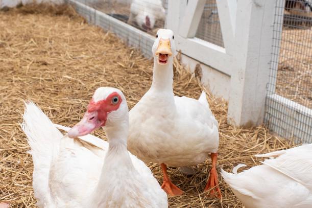 Seven Ducks Sanctuary