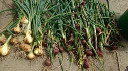 Harvest_Onions.jpg