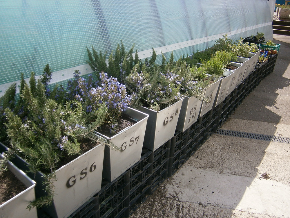 Herbs in containers, rosemary, lavender, bay, thyme