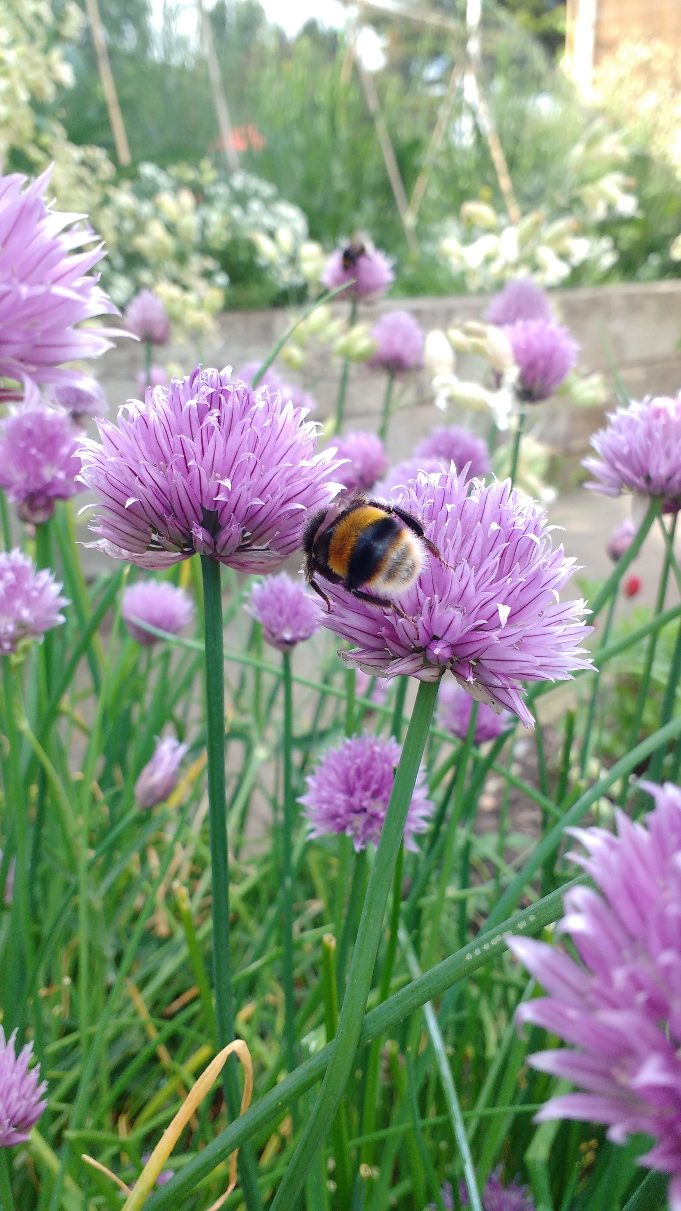 Flower_insect_chives_bumblebee (1).jpg