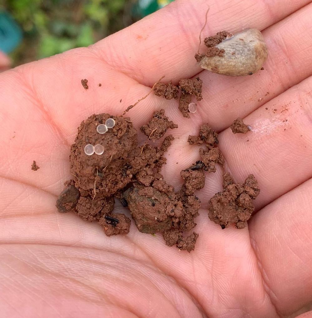 Garden Slug eggs
