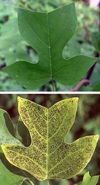 Efeito do ozônio na folha do tulipeiro (Liriodendron tulipfera), uma árvore nativa da América do Norte. Acima a folha saudável e abaixo com injúrias devido à presença de O3 (National Park Service).