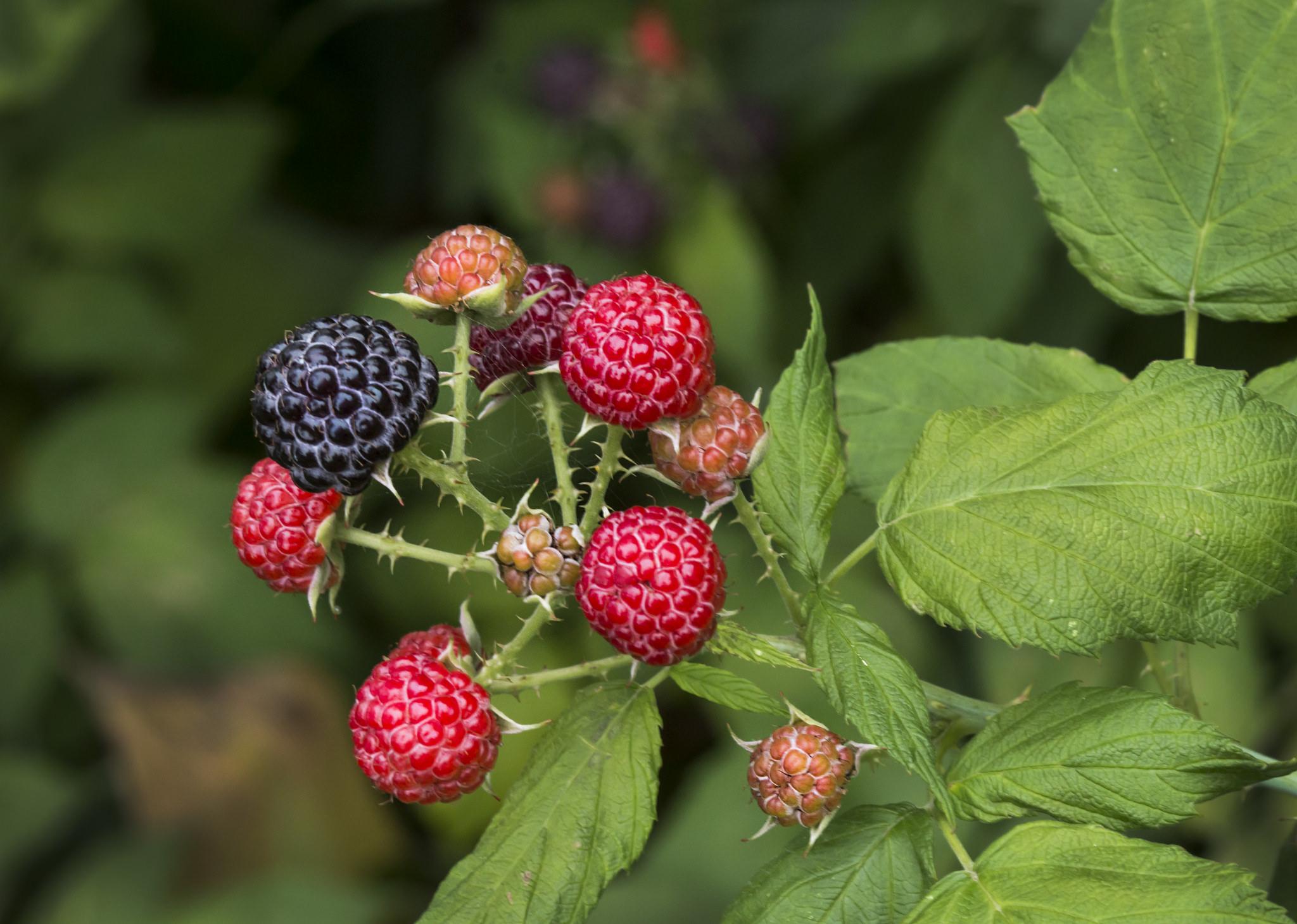 wild-berries-by-liz-west-on-flickr-creat