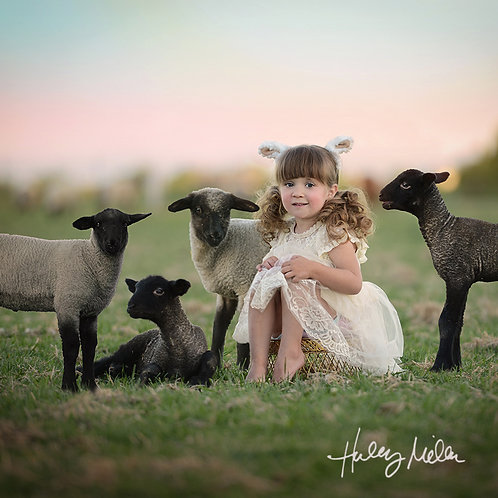 Field of Lambs Digital Backdrop/Background - PSD/Overlay
