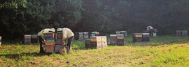 Travail aux ruches