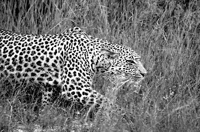Leopard Female b&w