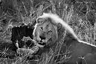 Lion chow bw signed.jpg