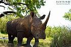 White Rhino from below signed.jpg