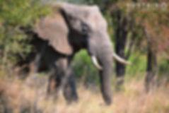 Elephant bull appearing