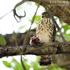 Little Sparrowhawk with prey