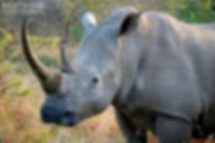Rhino Horn2 signed.jpg