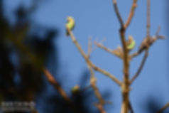 Cape Parrots & African Olive-Pigeon1 sig