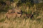 3 Black Rhinos