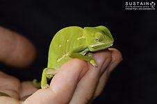 Flapnecked Chameleon signed.jpg