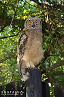 Spotted Eagle-Owl signed.jpg