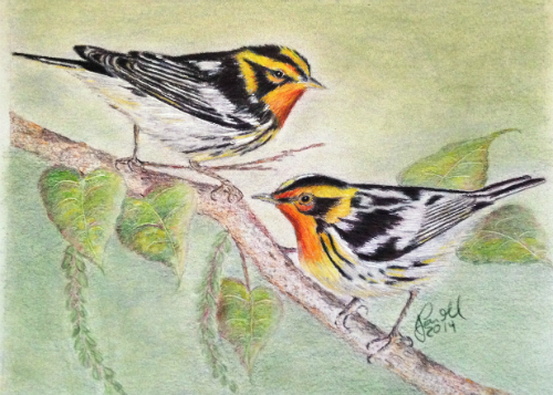 Colorful Warblers