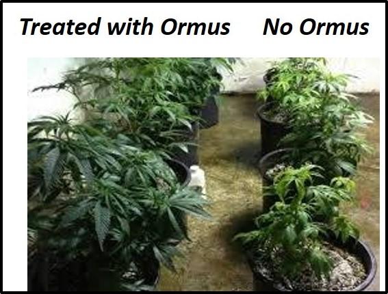 VI Marijuana