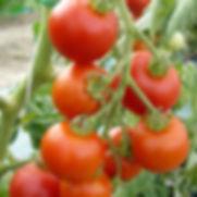 I-Autre-6053_1200x1200-tomate-matina-ab.