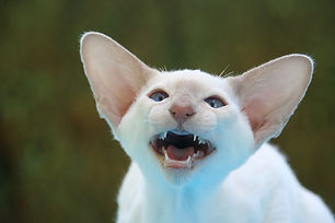 siamese-cat-408766_960_720.jpg