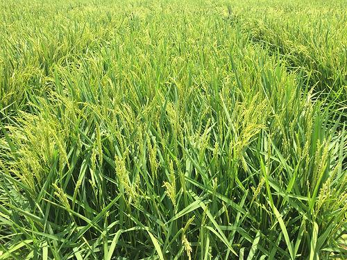 rice anthesis.jpg