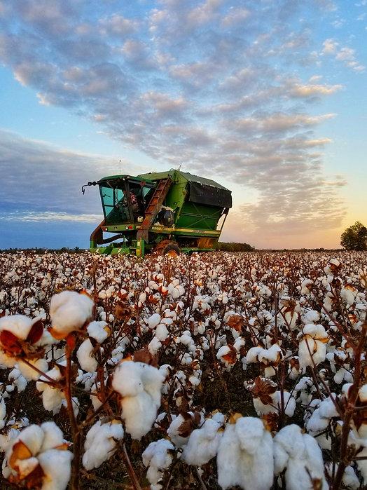 LG_cotton%20harvest1_edited.jpg