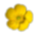 transparent-flower-buttercup.png